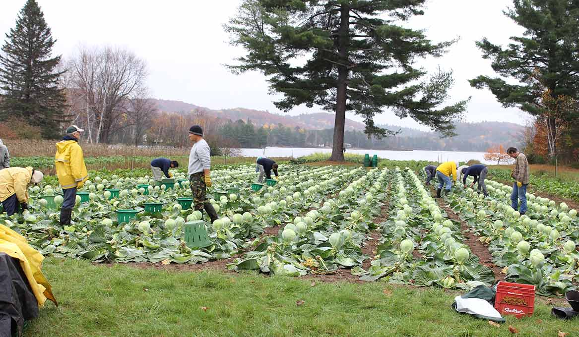 6 or 7 people harvesting cabbage at Madonna House